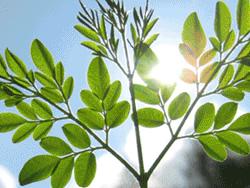 foglie di moringa