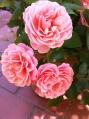Botticelli Roses