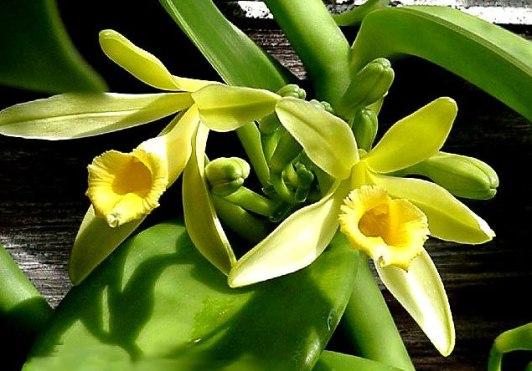 vaniglia fiore