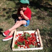 ROSSO CILIEGIA...tonde, lucenti, gustose ECCOLE! che annunciano l'estate, ricette e curiosità post 1°