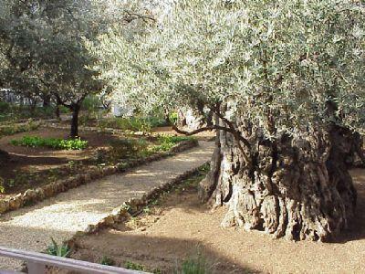 antico-ulivo-del-getsemani