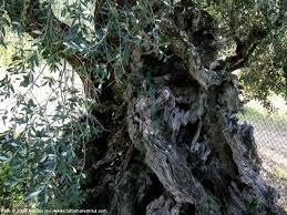 ulivo-delle-streghe-2