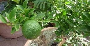 chinotto-frutto3